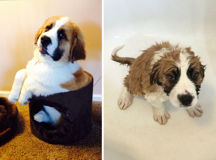 wet-dogs-before-after-bath-4-57a4396fd384c__700