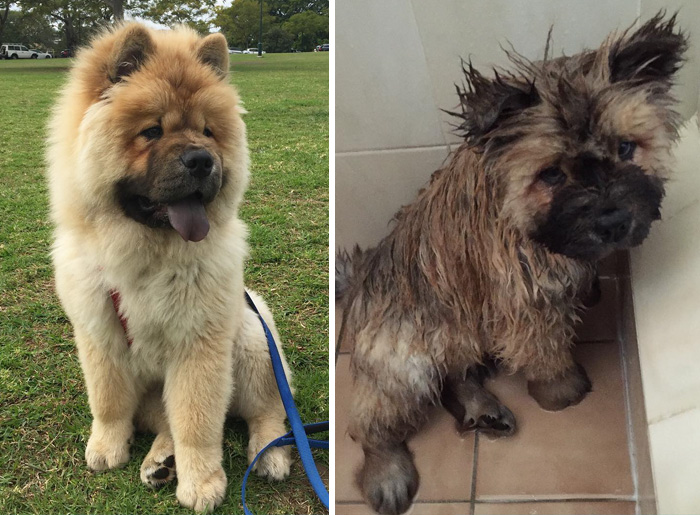 wet-dogs-before-after-bath-51-57a4847e96d08__700