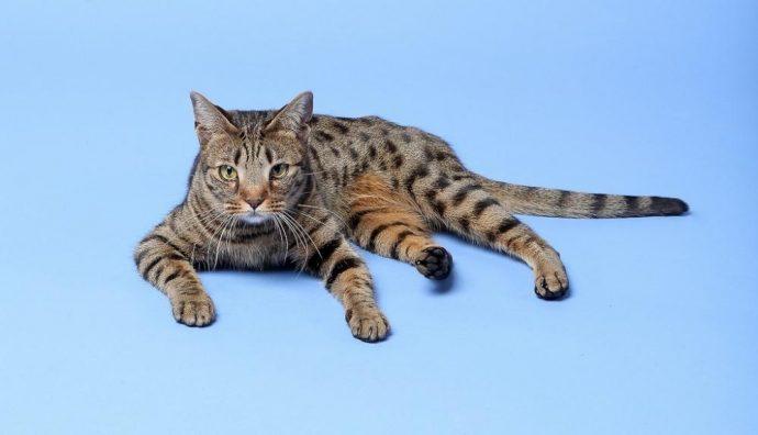 Коты Оцикет