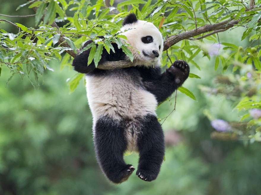 panda fall