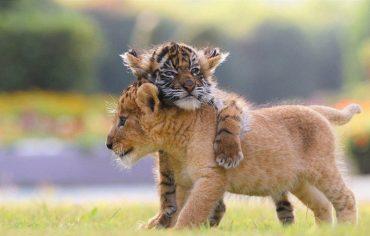 xoroshie-druzya-tigrenok-i-lvenok-v-japan-safari-parke
