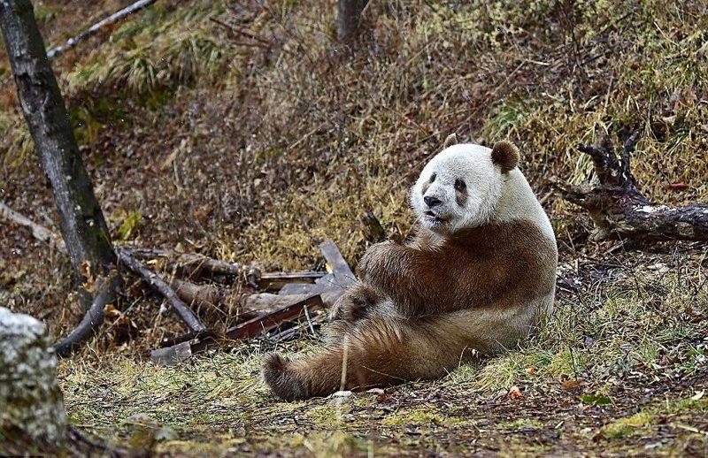 panda рис 4