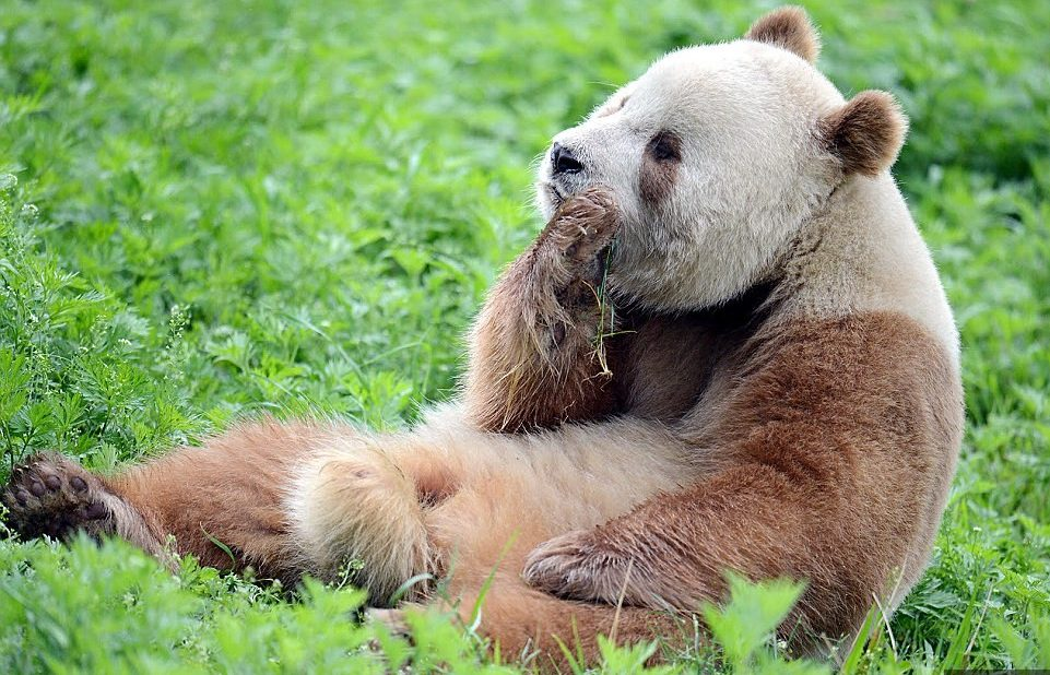 panda рис 5
