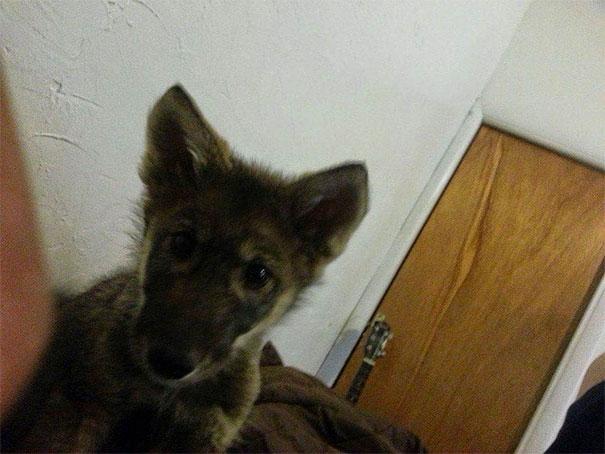 wolf рис 2