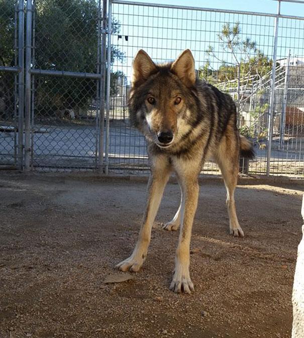 wolf рис 4