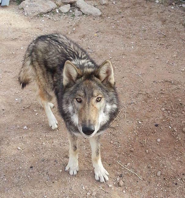 wolf рис 6