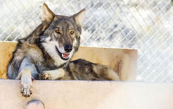 wolf рис 7