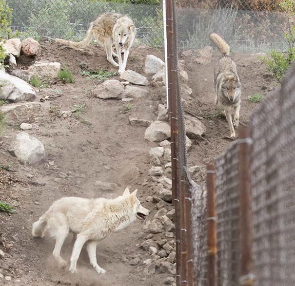 wolf рис 8