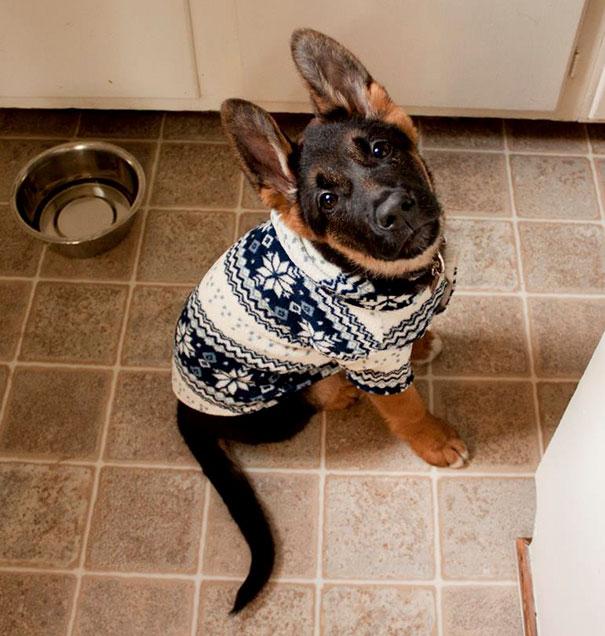cute-animals-wearing-tiny-sweaters-13-57ff4f926c4b4__605