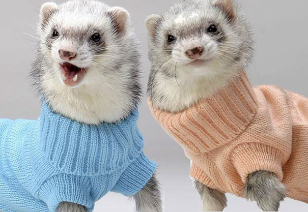 cute-animals-wearing-tiny-sweaters-17-57ff4f9bd62a7__605
