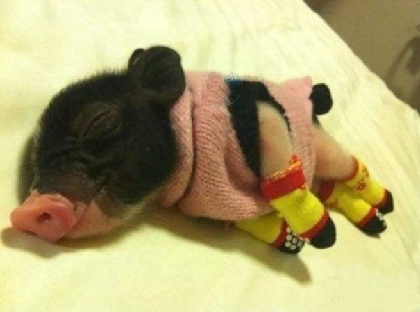 cute-animals-wearing-tiny-sweaters-6-57ff4f775330d__605