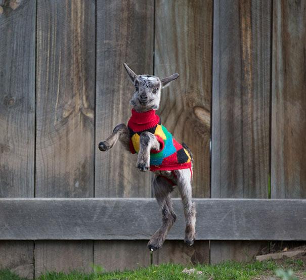cute-animals-wearing-tiny-sweaters-66-5804b553b4818__605