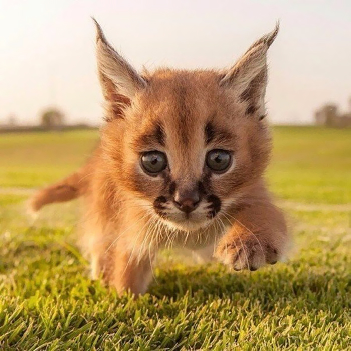 cute-baby-caracals-29