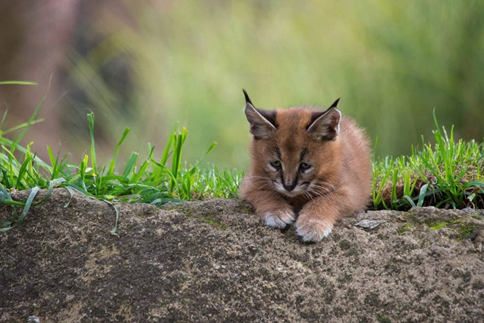 cute-baby-caracals-4-57fb594ad3154__700