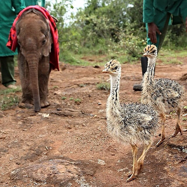 ostrich-snuggles-orphaned-elephants-1