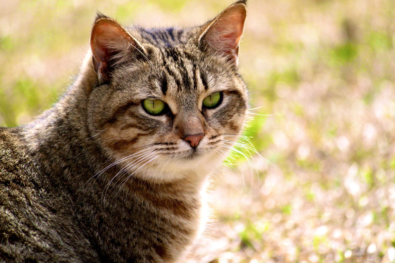 Калифорнийская сияющая кошка 2
