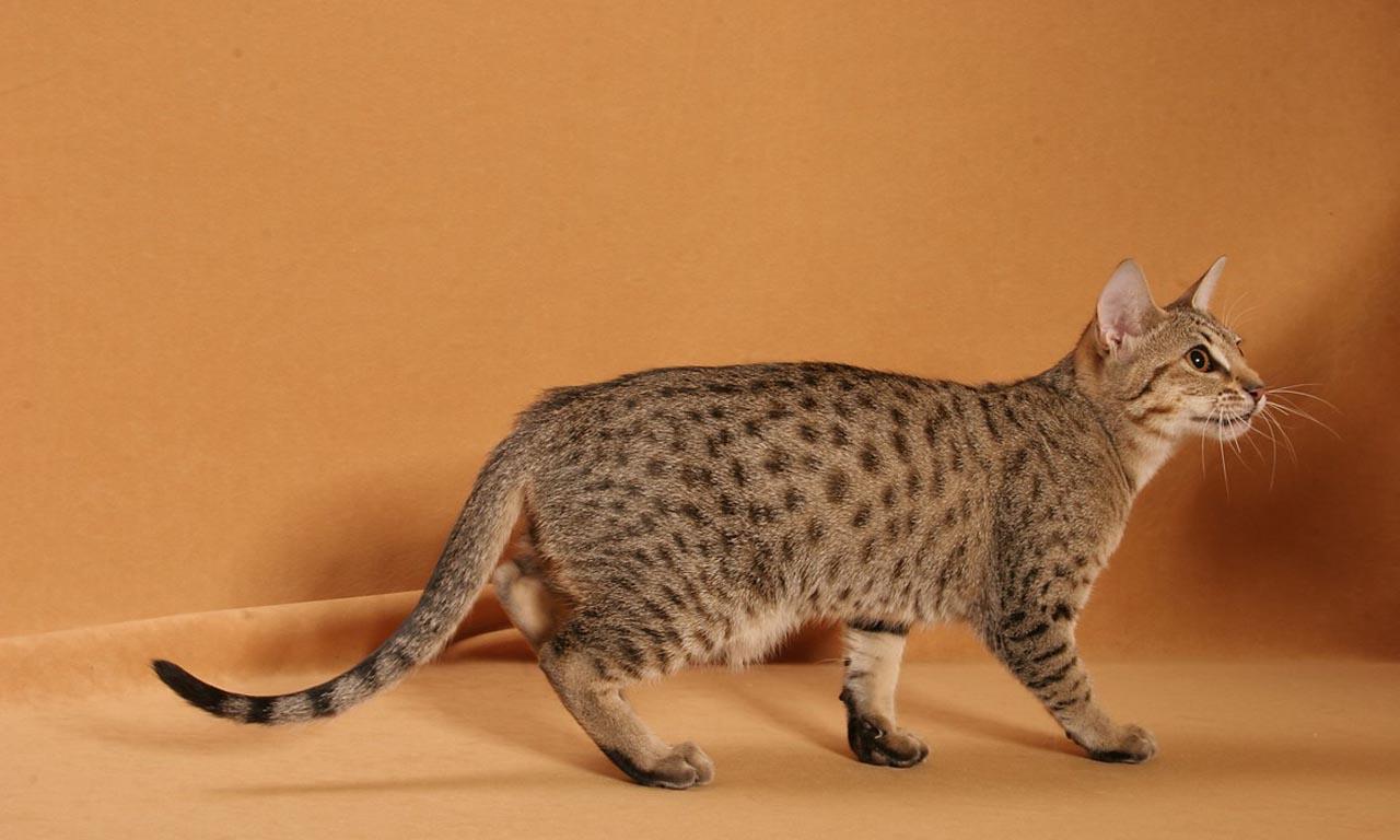 Калифорнийская сияющая кошка 3