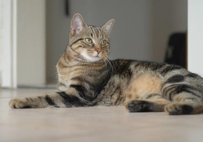 Калифорнийская сияющая кошка 4