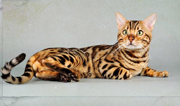 Бенгальская кошка 1