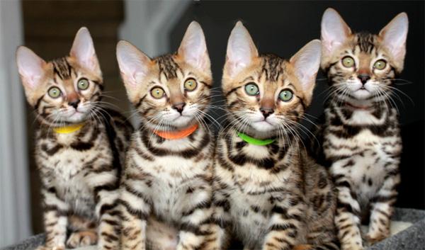 Бенгальская кошка 5