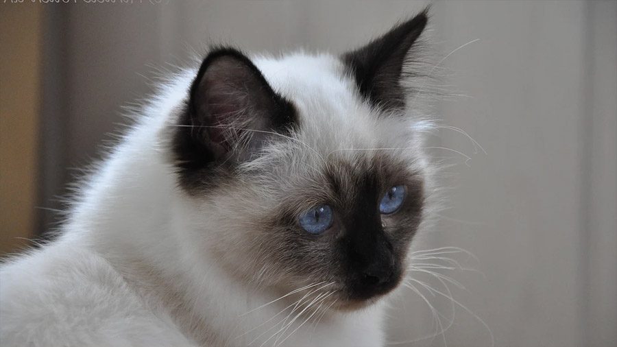 Бирманская кошка 1