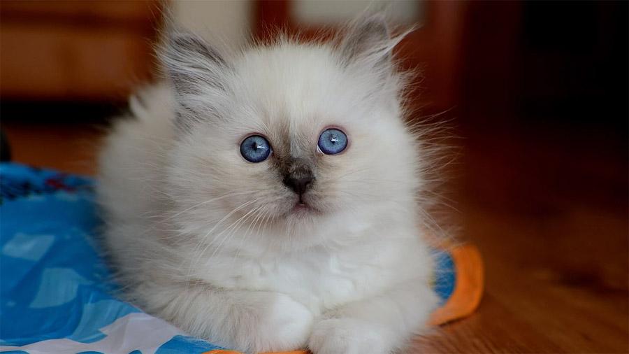 Бирманская кошка 4