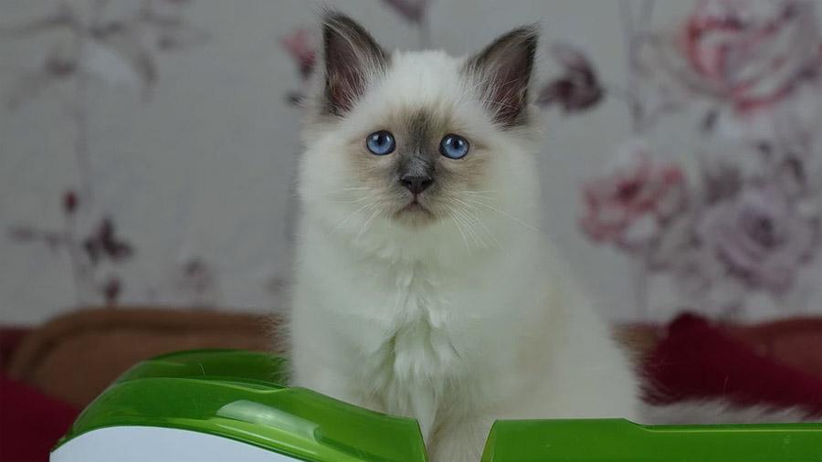 Бирманская кошка 2