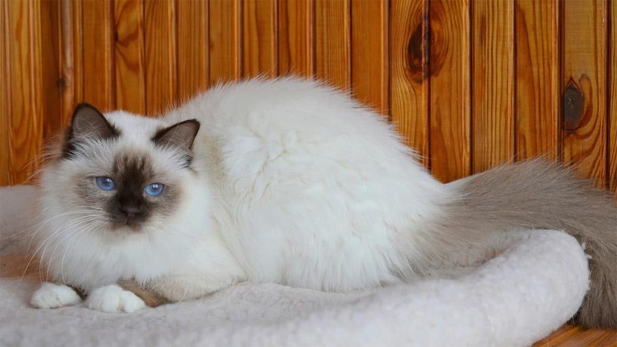 Бирманская кошка 3