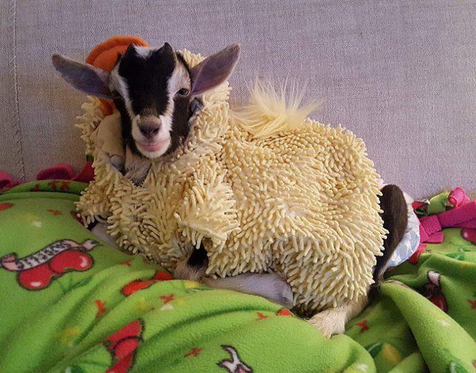 goat рис 2