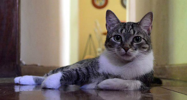 brazilian-shorthair-cat-11