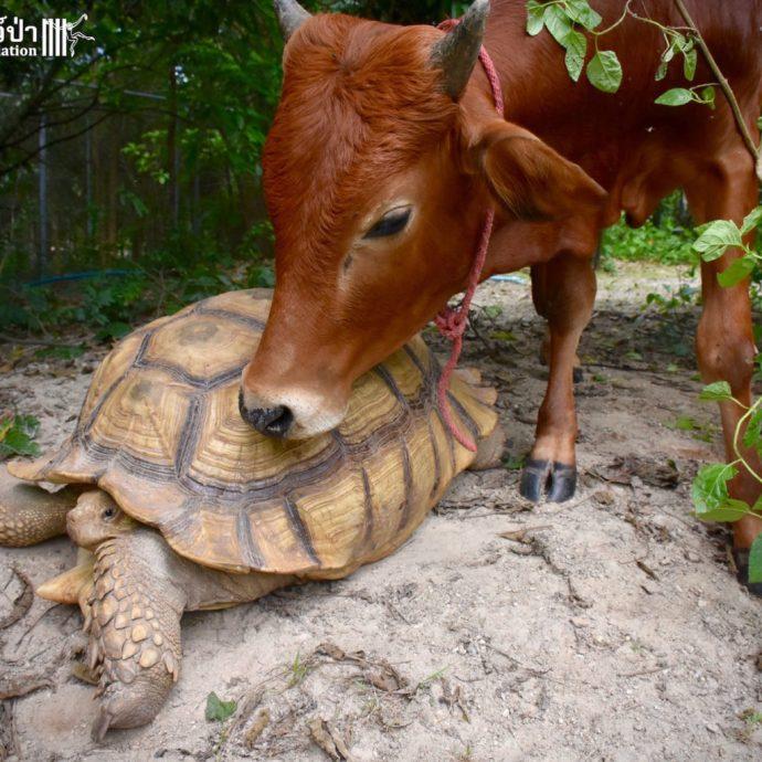 calf and tortoise рис 3