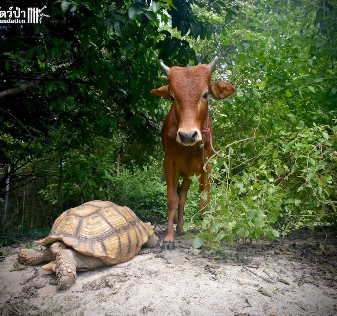 calf and tortoise рис 4