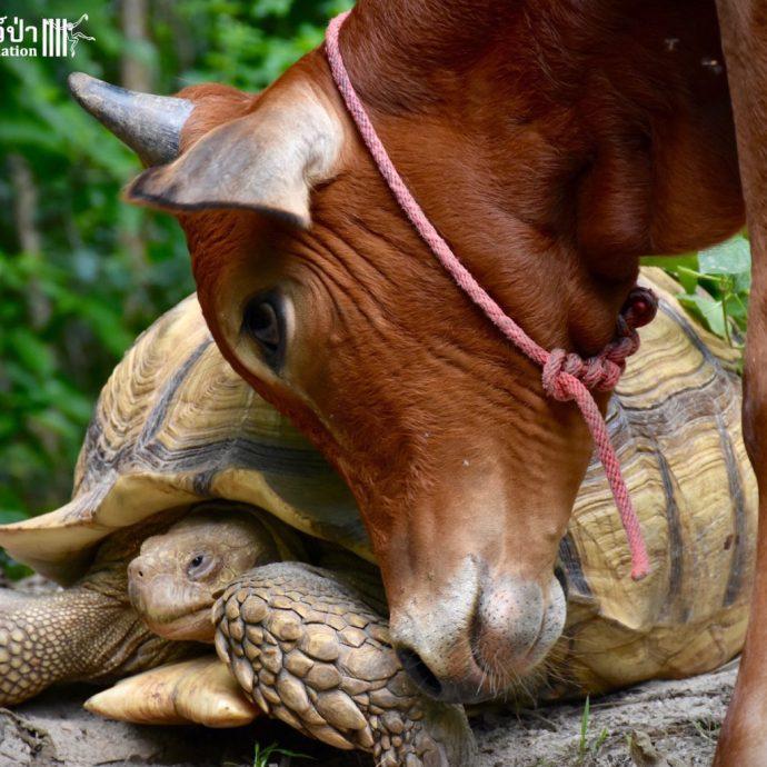 calf and tortoise рис 7