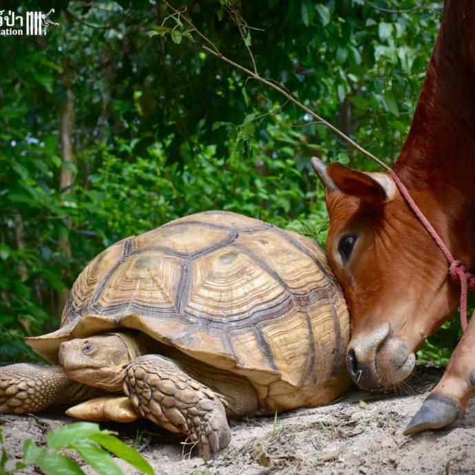 calf and tortoise рис 5