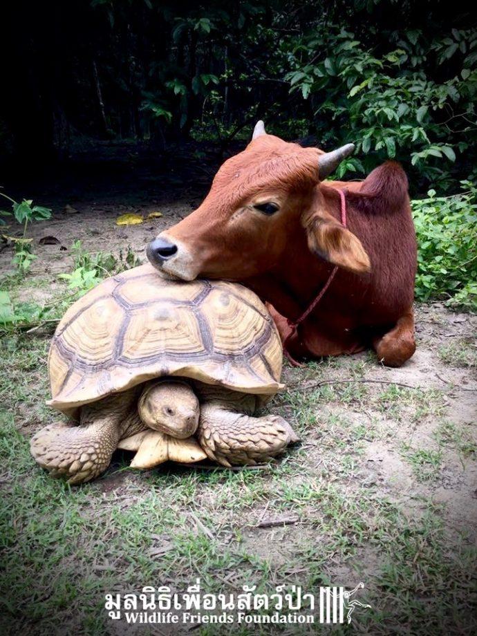 calf and tortoise рис 6