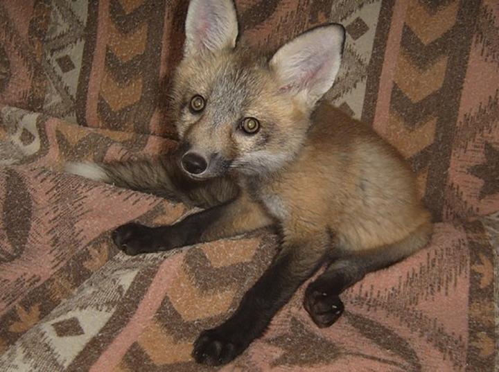 fox-8