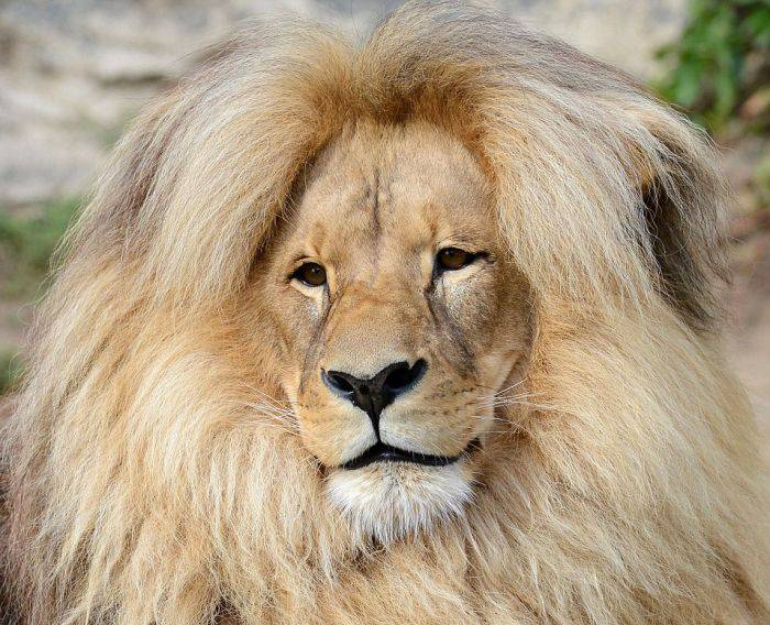 leon_the_lion_is_the_mane_attraction_at_the_usti_nad_labem_zoo_03