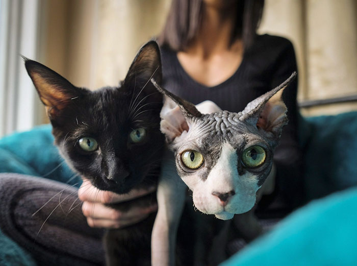 shaved-kittens-sold-sphynx-cats-2