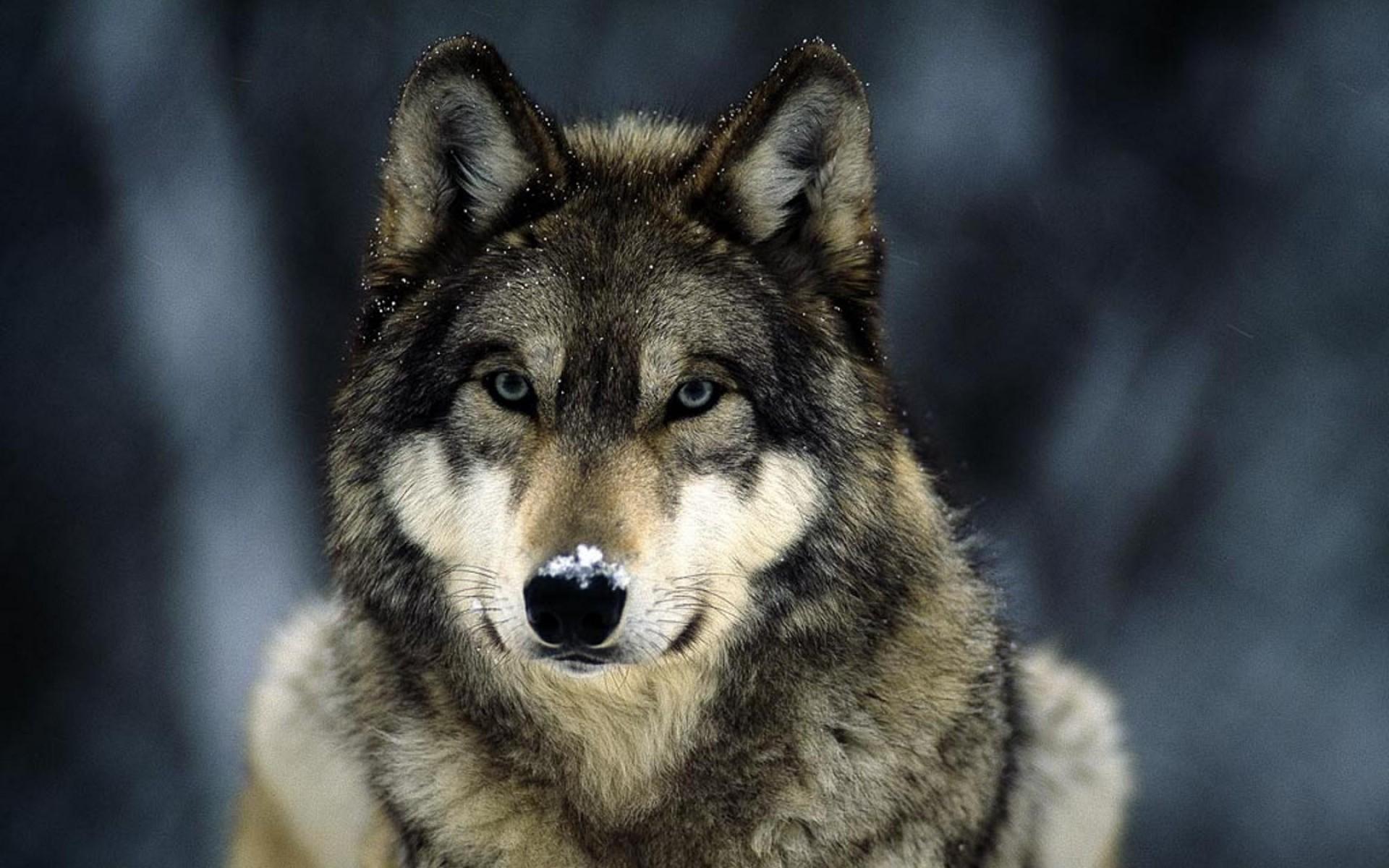 """Девушки спасли волка из ледяной реки и оживили, сделав искусственное дыхание """"рот в пасть""""!"""
