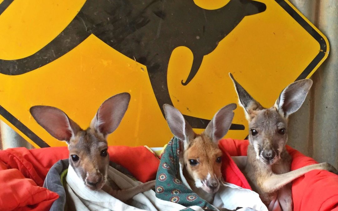 joeys-and-kanga-sign-1080x675