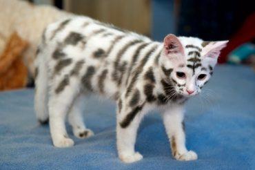 tigrovyj-kote