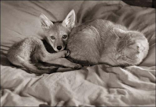 shreve_stockton_coyote_01