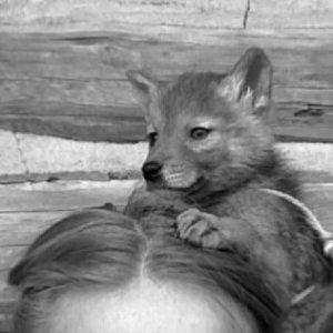 shreve_stockton_coyote_1