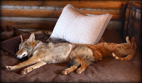 shreve_stockton_coyote_2