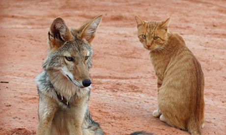 shreve_stockton_coyote_5