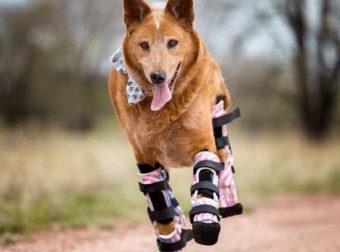 Пёс-инвалид Нэки'о получил 4 новых протеза и впервые стал на лапы!