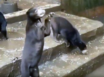 Этот ролик поразил всех! Как голодные медведи просят еду у прохожих…