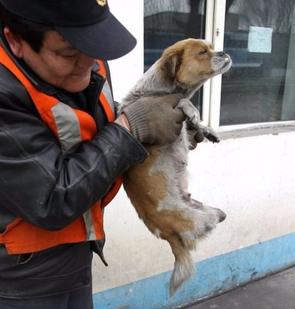chinese dog рис 2