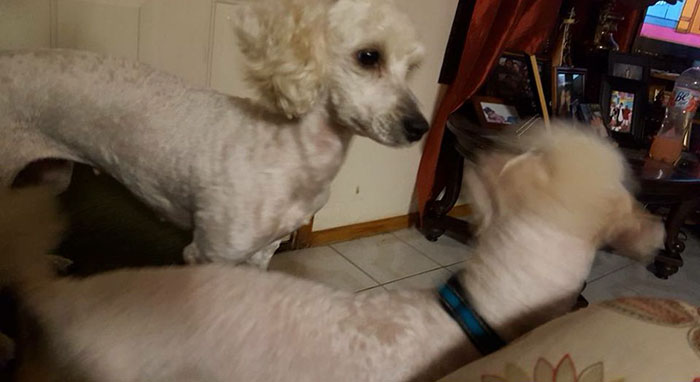 white-dogs-black-puppies-mocca-texas-6
