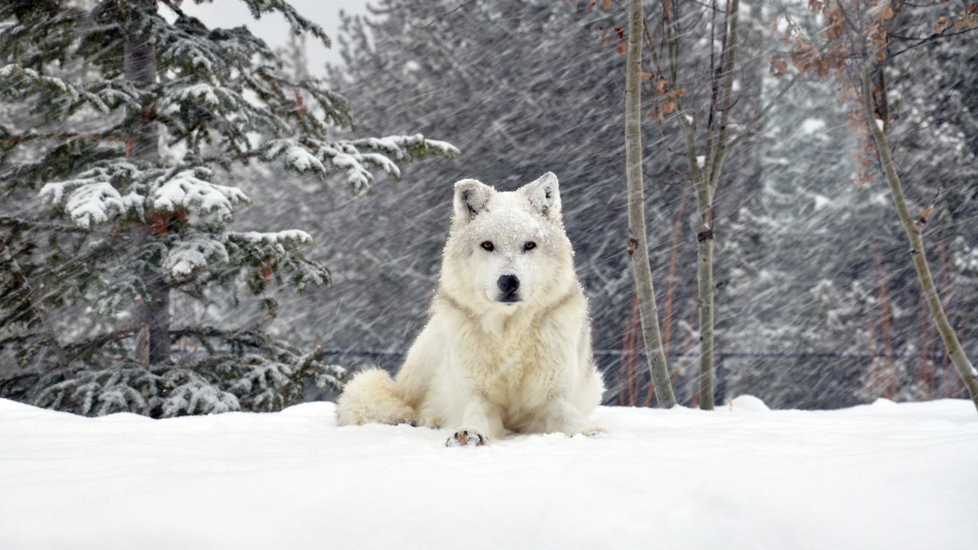 belaya-sobaka-na-snegu-pod-snegopadom